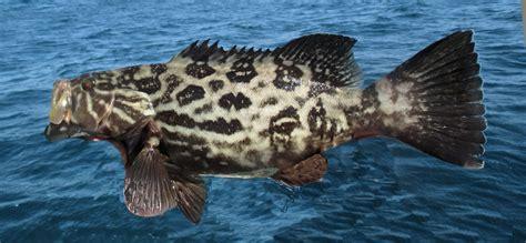grouper fish broomtail mycteroperca mexican california marine juvenile identification