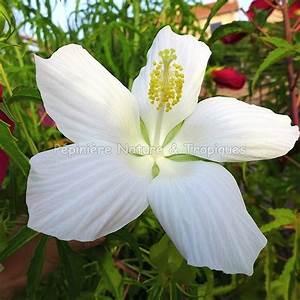 Plantes Exotiques Rustiques : hibiscus coccineus 39 alba 39 hibiscus rustique blanc ~ Melissatoandfro.com Idées de Décoration