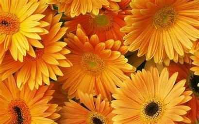 Orange Desktop Backgrounds Flowers Theme Gerbera Flower