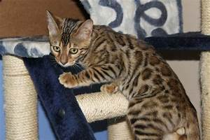Beautiful Brown Spotted Bengal Kittens | Bury St Edmunds ...