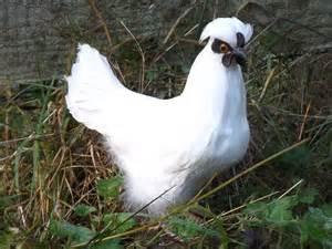 Silkie Chicken Hen