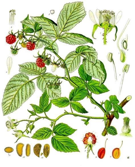 Raspberry Simple English Wikipedia The Free Encyclopedia