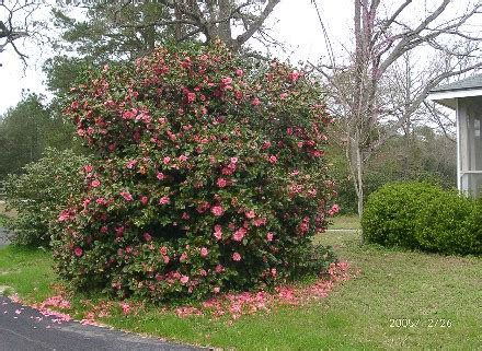 pruning camellias should i prune my camellia japonicas into trees secrets of a seed scatterer