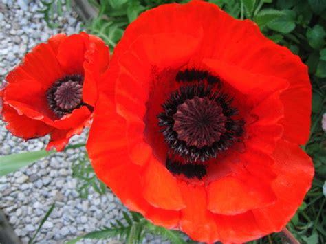 herbal  memabukkan opium bunga tanaman papaver
