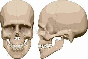 Front And Side View Of Human Skull