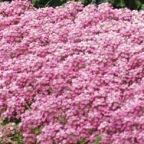 perrenial ground cover 60 pink sweet fragrant alyssum flower seed perennial ground cover ebay