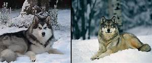 Test YOUR Wolf Identification Skills | Montana Hunting and ...