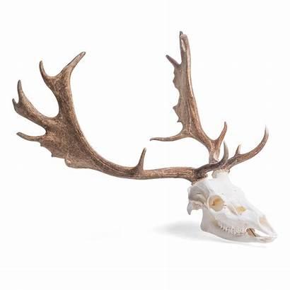 Deer Skull Fallow Male Dama Czaszka Daniela