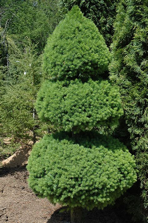 alberta spruce potted dwarf alberta spruce images