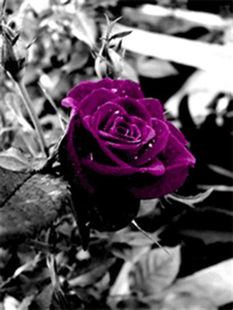bilder und animierte gifs von lila rosen gifmania