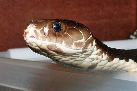 cobra bites kills chef  head cut  wnd
