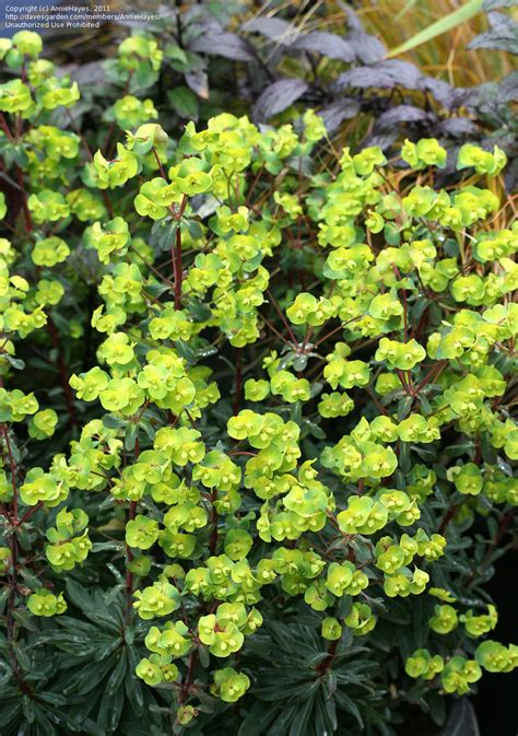 euphorbia spurge plantfiles pictures euphorbia species wood spurge euphorbia amygdaloides by anniesannuals