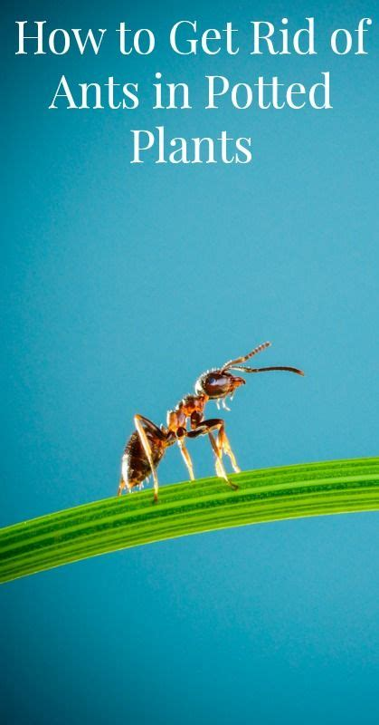 how to get rid of ants on patio plan get rid of ants potted plants and ants on