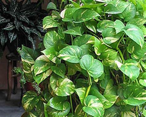 money plant fresh air for urban areas oxygen