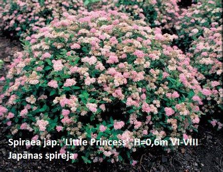 Japāņu spireja Spiraea jap. 'Little Princess ...