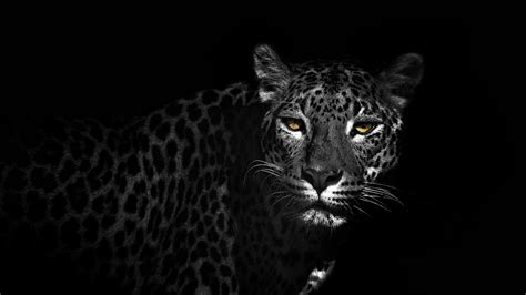Black And White Animal Wallpaper - black leopard wallpaper wallpapersafari