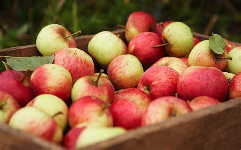pomme al interieur exposition de pommes 224 l 201 comus 233 e d alsace bibouille l agenda