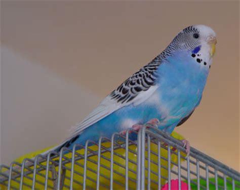 parakeet picture album budgie photo collection