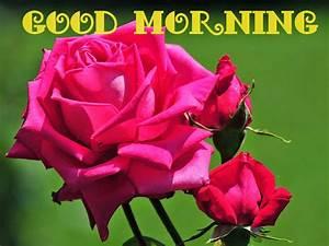 Lovely Good Morning Pink Rose Images Download | Festival ...