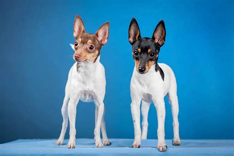 toy fox terrier info temperament life span puppies