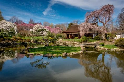 shofuso japanese house and garden peak time for cherry blossoms in philadelphia announced