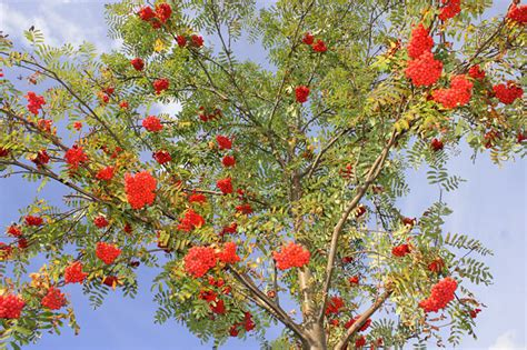 Laubbäume Garten Pflanzen by Eberesche Vogelbeere Nabu Bremen