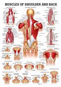 Best 25+ Muscles of the shoulder ideas on Pinterest ...