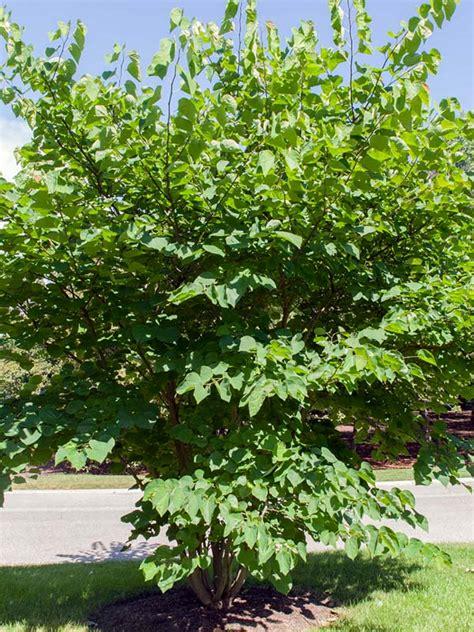 eastern bud eastern redbud chicago botanic garden