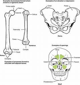 7 2 Bone Markings  U2013 Anatomy  U0026 Physiology