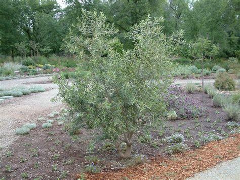 fruitless olive tree growth rate olea europaea swan hill
