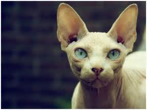 sphinx cats sphynx cat pictures personality and how to care for