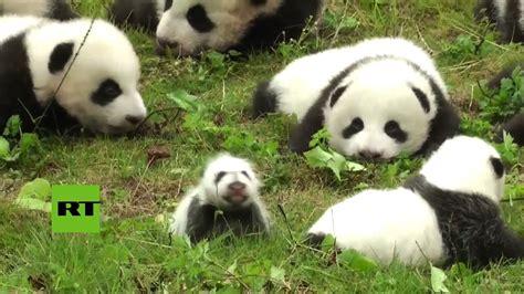 china presentan a 36 osos panda nacidos durante el 2017
