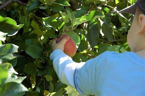 Pumpkin Picking Ridge Ny by Fresh Fall Fruit U Pick Apples Places On Long Island