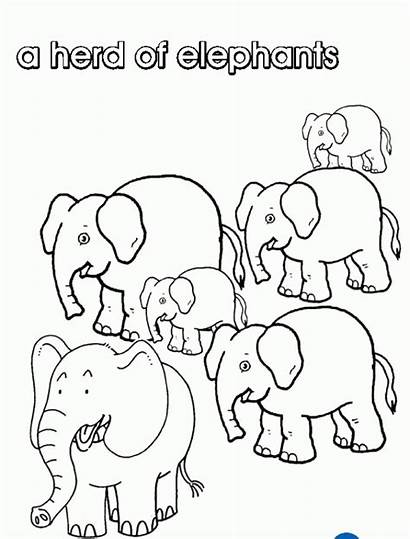 Collective Nouns Elephants Colouring Pages Coloring Herd