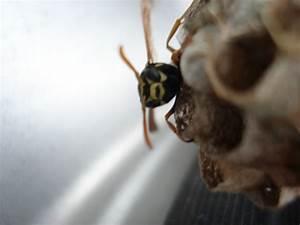 Feldwespen Nest Entfernen : dreistes insekt baumkunde forum ~ Frokenaadalensverden.com Haus und Dekorationen