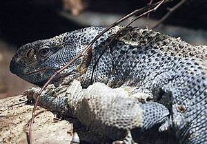 Black-throated Monitor | Taken at the Catoctin Wildlife ...