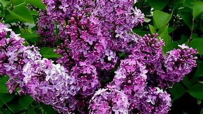 Lilac Winter Bush Wallpapers Flower Pixelstalk