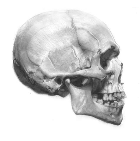 Images About Face Anatomy Pinterest The Skulls