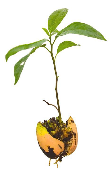 how to grow a seedling file avocado seedling jpg wikimedia commons