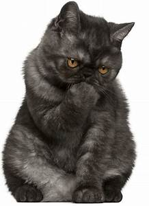 The Exotic Shorthair Cat - Cat Breeds Encyclopedia
