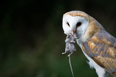 What Do Barn Owls Eat owl battles who has alex s residents best interest at