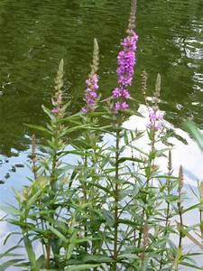 Lila Blumen Bestimmen Siddhimindinfo