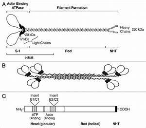 Schematic Diagrams Of The Myosin Molecule  Filament And