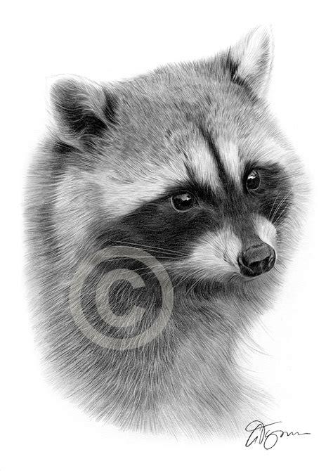 drawn raccoon pencil pencil   color drawn raccoon