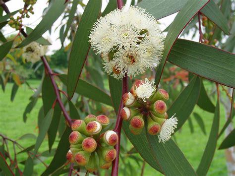 Fileeucalyptus Pauciflora1jpg
