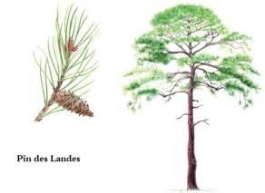 Parquet Pin Des Landes : comment cultiver le pin des landes ou pin maritime ~ Dailycaller-alerts.com Idées de Décoration