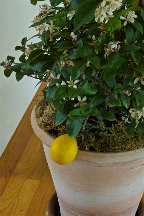 1000 ideas about lemon tree potted on patio