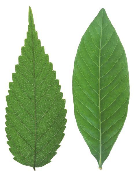 elm leaf cliparts   clip art  clip