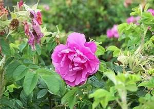 Rose In Kartoffel Anpflanzen : duftende rosensorten f r parkanlagen ~ Lizthompson.info Haus und Dekorationen