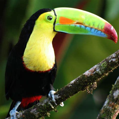 Tropical Rainforest Toucan